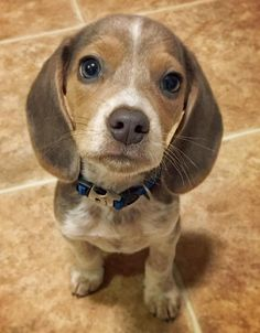 Bleu Steel the Beagle