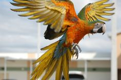 camelot macaw | by Dave Womach
