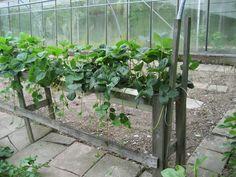 Aardbeien telen in bakken (lezerstip) - GroentenInfo
