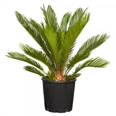 Cycas Revoluta - Trees & More Ltd Hedging Plants, Landscaping Plants, Shrubs, Fruit Plants, Cactus Plants, Order Plants Online, Sago Palm, Citrus Trees, How To Attract Birds