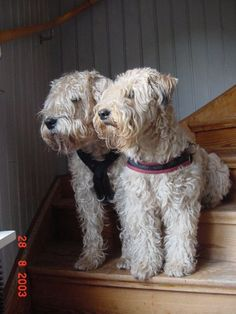 Both my wheatens in a stair in my former house in Öland. Both of the dogs comes from breeder www.villarosa.se