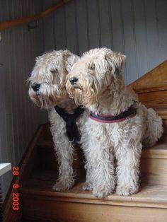 Love Wheaten Terriers