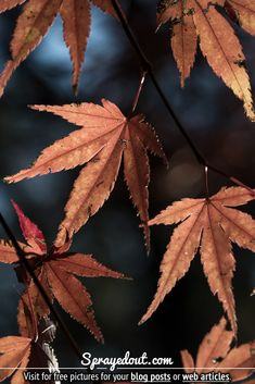 Picture of Brown & Red Leaves of a Japanese Maple Tree in Autumn Fall Leaves Pictures, Fall Pictures, Tree Saw, Cherry Blossom Season, Murals Street Art, Red Leaves, Maple Tree, Seasons Of The Year, Colorful Trees