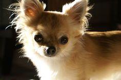 Chihuahua Siru
