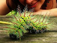 Lonomia caterpillars live in the rainforests of South America, and cause a few deaths every year, especially in southern Brazil, where they'...