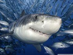 Great White Shark HD desktop wallpaper : Widescreen : High ...