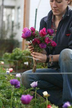 anenomes April @ 2012 @ Floret Flower Farm