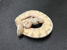 Banana BumbleBee Ball Python
