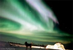 Aurora Borealis glows above a sled dog and igloo.