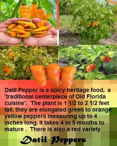 How to Grow Datil Pepper - All About Datil Pepper