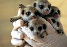 Meerkat babies at Hunter Valley Zoo