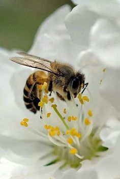 bee keepers concerned, which should be concern for us ALL.with diminished bee activity! Beautiful Creatures, Animals Beautiful, Cute Animals, Bees And Wasps, Beautiful Bugs, Amazing Nature, Simply Beautiful, Beautiful Pictures, Bee Art