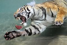 """Tiger swims after meat (by Noli Doody)...I had absolutely no idea that tigers went underwater. Once again, I've learned something from  Pinterest.  The trick is  to work any new bit of information  smoothly into the next conversation..with anyone. E.g., """" Hi, what're you selling? Do you know tigers can go underwater?"""""""