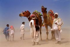 cholistan camel 2