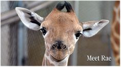 Named best zoo. hand-feed giraffes and budgies, up-close animal experiences and family fun. FInd the best views of Cheyenne Mountain and Colorado Springs. Baby Giraffe Tattoo, Giraffe Tattoos, Zoo Giraffe, Giraffes, Cheyenne Mountain Zoo, Animal Experiences, Budgies, Colorado Springs, Wildlife