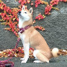 Fancy Dog Collars, Pet Collars, Boy Dog, Girl And Dog, Breakaway Cat Collars, Designer Dog Collars, Red Fur, Martingale Dog Collar, Thing 1