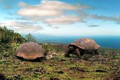 I wanna visit the Galapagos Giant Tortoises!    Galapagos Islands are an archipelago of 13 volcanic islands and rocks located in the Pacific Ocean about 1,000 kilometers west coast of South America. Politically, the Galapagos Islands are part of Ecuador. Eldest Island about 4 million years old and the youngest is still in process of formation. Galapagos Islands indeed is one of the region's most active volcanoes in the world.
