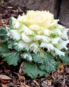 Dynasty White Flowering Cabbage Photograph by Kathy White
