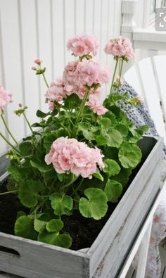 Palest of pink geraniums Summer Flowers, Pink Flowers, Beautiful Flowers, Container Plants, Container Gardening, Pink Geranium, Vibeke Design, Minimalist Garden, Pink Garden