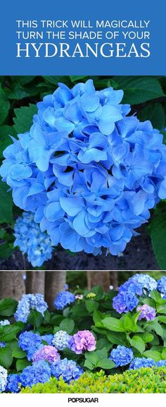 Diy: Tips That Will Magically Turn the Shade of Your Hydrangeas