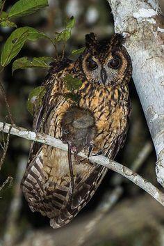 Madagascar Long-eared Owl (Asio madagascariensis) with prey. Photo by Francesco Veronesi.