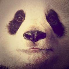 PANDA BEAR <3 <3 <3 <3