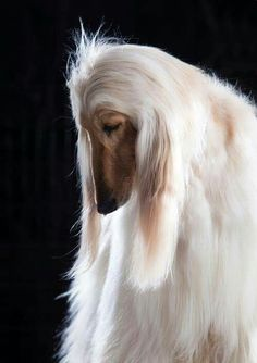 best images, photos and pictures ideas about afghan hound dog - oldest dog breeds Big Dogs, Cute Dogs, Dogs And Puppies, Doggies, Beautiful Dogs, Animals Beautiful, Cute Animals, Sleepy Dogs, Afghan Hound
