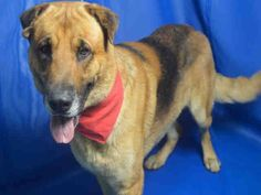 JAX (A1683152)I am a male brown and black German Shepherd Dog. The shelter staff think I am about 4 years old and I weigh 86 pounds. I was found as a stray and I may be available for adoption on 03/06/2015. — hier: Miami Dade County Animal Services. https://www.facebook.com/urgentdogsofmiami/photos/pb.191859757515102.-2207520000.1425406155./937614679606269/?type=3&theater