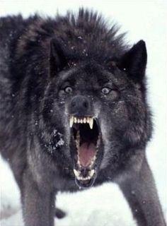 メラニズムのオオカミ
