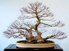 Imperial colection Bonsai - Japan #03   Flickr - Photo Sharing!