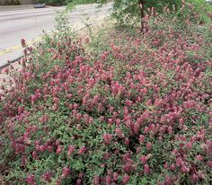 Dalea versicolor v. sessilis. Weeping Dalea/Indigo Bush. Native evergreen groundcover. Great performer, butterfly larval source, flowers from Fall to Spring. Full sun/part shade. Moderate grower.
