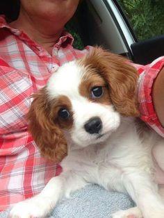 Poppy the Puppy - Cavalier King Charles Spaniel
