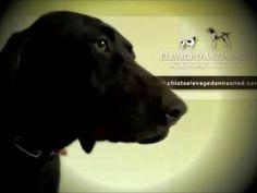 NIKITA d'An Naoned 💜 🎥 📯 Jeune Chienne Braque allemand L.O.F disponible 💻 Plus d'informations www.chiotselevagedannaoned.com  #braqueallemand #germanshorthairedpointer #gsp #deutschkurzhaar #dog #chien #hund #cani #pet #chasse #hunting #jagd #birddogoftheday #birddog #gundog #dogvideo #instadog #cute #doglove #nikita