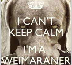 Truth I miss our crazy girl. Weimaraner Funny, Weimaraner Puppies, Dogs And Puppies, Doggies, Blue Weimaraner, Funny Animal Pictures, Dog Pictures, Funny Animals, Cute Animals