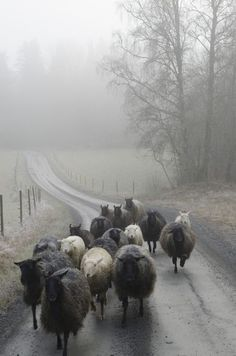 sheep; mist; dreams. me, between. @8:42pm, 12/03/16