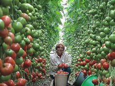 Семь правил большого урожая помидор. | Дачники
