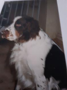 Chien Springer, Dogs, Animals, Animales, Animaux, Pet Dogs, Doggies, Animal, Animais