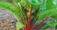 Tui Garden | Vegetable Gardener's Diary - August