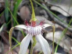 Orchid Species Photo Archives | ... species from Western Australia - Orchid Forum by The Orchid Source