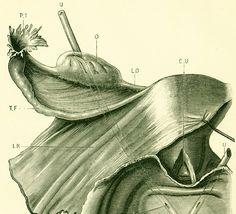 1897 Utérus vagin et urtères Planche Originale P. Tillaux Anatomie Chirurgie 19ème siècle