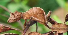 Leaf-Tailed Gecko - Photos - Camouflage animals