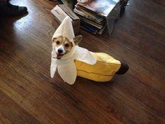 Corgi banana costume