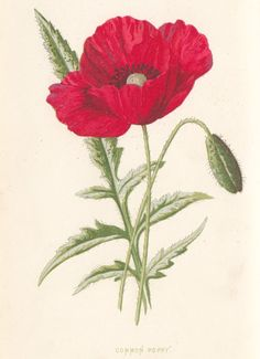 "Common Poppy in ""Familiar wild flowers, vol. 1"" figured and described by F. Edward Hulme, 1878 #Booktower"
