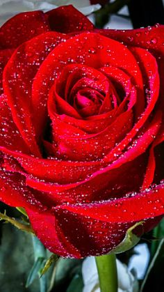 Sparkles on Scarlet Beautiful Flowers Wallpapers, Beautiful Rose Flowers, Pretty Roses, Love Rose, Exotic Flowers, Amazing Flowers, Pretty Flowers, Pink Flowers, Red Rose Pictures