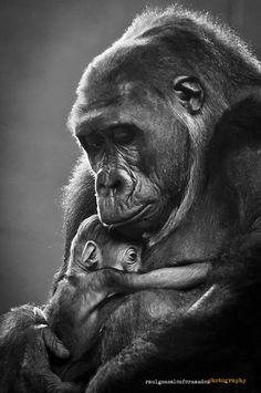 Gorila, Parque de la naturaleza de #Cabarceno #Cantabria #Spain