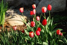 Tulip is an amazing flower to have in your garden. But if you are one of those gardeners who still not been able to figure out how to grow tulips, I will share some useful tulip gardening tips that will definitely be helpful. Well, tulips are one of the most...