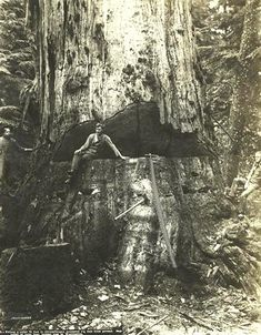 Cathedral Grove | Big Trees: Pictures & Politics | Big Trees as Trophies Red Wood, Wood Tree, Big Tree, Woods, Cathedral, Trees, Politics, Movie, Google Search
