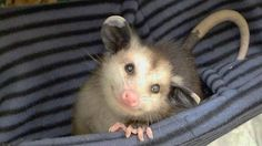 """kiwi-teen: """" toasturbuns: """" He not scream """" """" Okay, peeps, let me explain something. Yes, this tiny opossum is adorable and winsome-faced. But when you encounter an adult 'possum, say in the. Animals And Pets, Baby Animals, Funny Animals, Cute Animals, Baby Opossum, Paludarium, Tier Fotos, Hamsters, Cute Creatures"""
