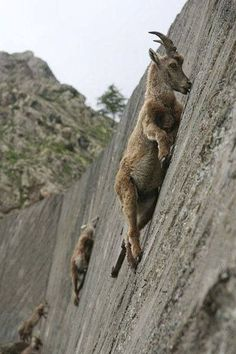 Mountain Goats climb a vertical dam wall to lick the stone for lichen, Salt and Minerals. Lichens form a large part of their diet.