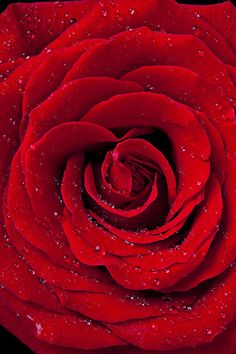 Red Rose With Dew Photograph by Garry Gay - Red Rose With Dew Fine Art Prints and Posters for Sale